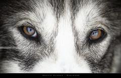 Arctic Glance (bgspix) Tags: dog animals norway canon interesting svalbard arctic 78 glance longyearbyen northpole spitzbergen spitzberg greenlandhuskies eos60d ef70200f28lisii bgsphotography