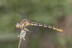 sulphur-tipped clubtail (robert salinas) Tags: austin texas bigma sigma odonata a