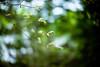 Fairy Forest (moaan) Tags: life new leica green digital forest 50mm born dof bokeh f10 momiji japanesemaple utata aomori noctilux sprout 2012 reborn 青森 m9 yagen deepintheforest anew inlife leicanoctilux50mmf10 leicam9 薬研 babymomiji