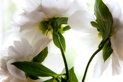 Peony (SolsticeSol) Tags: flowers white flower floral beautiful beauty horizontal image images peony fresh stems greenery bouquet lovely elegant florals springflowers peonies airy softlight paeonia springflower whitepeony paeoniaceae threewhiteflowers flowerbouquets greenstems peonyflower whitepeonies peonyflowers underaflower flowerimages peonybouquet dreamyflowers imagesofwhiteflowers undersideofaflower imagesofflowers underneathaflower beautifulflowerbouquets beautifulflowerpictures beautifulflowerimages imagesofpeonies elegantflowerimages whitepeonys whitepeonyflowers beautifulpeonyimages dreamyflowerimages dreamywhiteflowers peonypeonypeony imagesofpeonyflowers peonyimages whiteflowerswithdreamylight springtimepeonies whitepeonyflowerimages