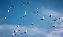 Pigeons at Sunset (Martijn ) Tags: sunset sky pigeons lucht duiven duif