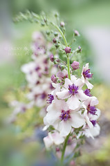 Verbascum 'Jackie' (Jacky Parker Floral Art) Tags: pink flowers summer portrait flower art nature floral vertical closeup garden flora jackie creative peach flowering softfocus tall blooms orientation perennials verbascum herbaceous
