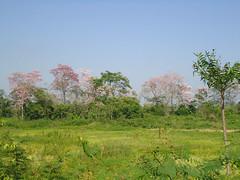 Tabasco verde (Caneckman) Tags: naturaleza primavera arbol flor tabasco villahermosa vegetacion