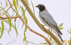 black-faced cuckoo-shrike (Fat Burns  (gone bush)) Tags: bird nature fauna australianbird barcaldine blackfacedcuckooshrike australianfauna coracinanovaehollandiae chrike nikond750 sigma150600mmf563dgoshsmsports sigmateleconvtc1401nik