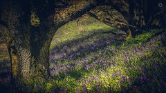 Shadows and Tall Trees (Augmented Reality Images (Getty Contributor)) Tags: flowers trees light shadow nature sunshine bluebells forest canon woodland landscape scotland spring perthshire glen hdr focusstack dunning leefilters bracketexposure