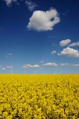 yellow sea (rainbowcave) Tags: field clouds spring wolken bluesky raps canola rapeseed rapsfeld