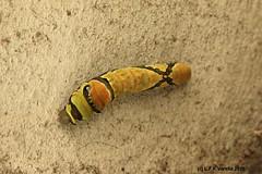 Pterourus scamander (Luiz Filipe Varella) Tags: brazil brasil butterfly do butterflies insects borboleta moths brazilian species mariposas insetos brasileiros brasileiras pterourus espcies scamander lepdpteros