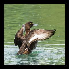 2016-05-06-Fri_IMGP0033 (Simple Visions) Tags: duck tufted