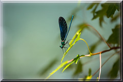 Blue and green (Siggi007) Tags: blue light portrait colour macro green texture nature colors beautiful beauty leaves closeup canon insect outdoors photo amazing wings focus exposure flickr foto dof details relaxing picture insects damselfly farben bilde canoneos6d