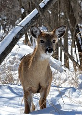 Curious Fawn (htaylor27) Tags: winter ontario canada nature bay wildlife deer fawn thunder whitetailed