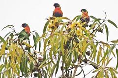 Kallaroo, Perth W.A. - Three Rainbow Lorikeets (zorro1945) Tags: trees birds three rainbow colours oz australia perth wa trio parrots westernaustralia parakeets lorikeets rainbowlorikeets kallaroo