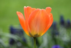 Tulip (careth@2012) Tags: nature petals