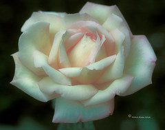 Peace Rose (DigiDi) Tags: rose ie peacerose languageofflowers digidi magicunicornverybest