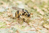Syrphidae. Graptomyza sp. (David Ball.) Tags: singapore syrphidae graptomyza canon270ex