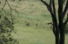 Turkeys and Deer (Nanoreplicator) Tags: flowers kite ed nikon san wildlife deer micro nikkor antonio mule afs rancho 105mm d90 128g