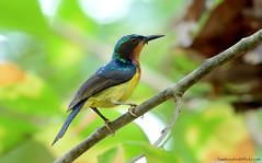 / Ruby-cheeked Sunbird / Chalcoparia singalensis (bambusabird) Tags: birds animals forest thailand nikon rainforest wildlife tropical chiangmai oriental sunbird bambusabird
