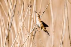 Reed Warbler (acrocephalus scirpaceus) (phat5toe) Tags: nature birds reeds nikon wildlife feathers avian wigan flashes d300 reedwarbler greenheart acrocephalusscirpaceus lancashirewildlifetrust sigma150500