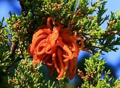 cedar-apple rust fungus at Lake Meyer Park IA 854A7557 (lreis_naturalist) Tags: park county red lake tree rust reis iowa larry cedar fungus eastern meyer fruiting winneshiek cedarapple