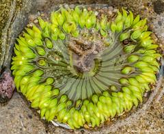 An electric green anenome (Photosuze) Tags: california green nature animals limegreen tidepools marinelife seaanenome anthopleuraelegantissima starburstanenome aggregatinganenome