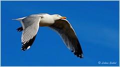 Fly Now II (lukiassaikul) Tags: wildlifephotography wildanimals wildbirds largebirds seabirds urbanwildlife seagull herringgalls fly flight sky bluesky