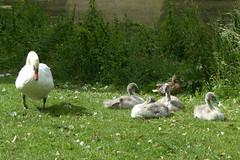 Zwanengezin met 4 grijze kinderen (Olga and Peter) Tags: nederland swans diemen zwanen fp1120070