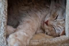 Rainy Day Blues (Alex M. Wolf) Tags: sleeping cats rain cat fuji rainyday sleep gato mainecoon katze schlafen gatto kater regen cato regentag alexmwolf xe2s