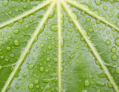 Green lines (KevPBur) Tags: green lines leaf waterdrop symmetry raindrops fatsia fatsiajaponica sigma30mmf14exdchsm hoyacloseup4 canon650d canonrebelt4i canonkissx6i canon650dcanonkissx6icanonrebelt4i