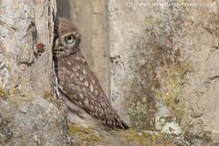 Little Owl (ian hufton photography) Tags: bird kent wildlife owl littleowl ianhufton