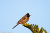 IMG_7348L4 (Sharad Medhavi) Tags: bird canoneod50d birdsandbeesoflakeshorehomes