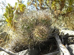 DSCN8552 (Robby's Sukkulentenseite) Tags: chile cactus cacti coquimbo reise kaktus kakteen eriosyce tongoy standort subgibbosa neoporteria nigrihorrida rb2027 ka4151s