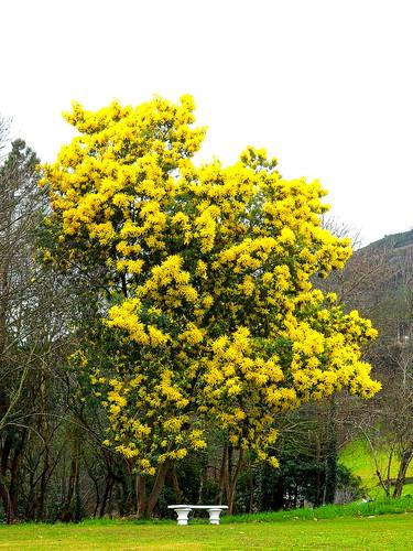 Acacia dealbata ou mimosa
