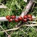 Ladybird NottsWT (cpt Nicola Davidson Reed)