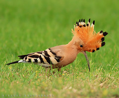 Hoopoe.. (ZiZLoSs) Tags: green birds canon photography eos zoom background kuwait usm hoopoe kuwaiti aziz abdulaziz عبدالعزيز عزيز 600d f56l zizloss المنيع ef400mm 3aziz almanie canoneos600d