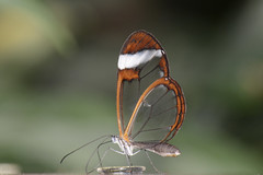 Greta oto (Rene Mensen) Tags: orange white macro butterfly nikon rene thenetherlands lepidoptera transparent mariposa greta drenthe schmetterlinge emmen oto noorderdierenpark mensen dierentuin transparant vlindertuin doorzichtig    glasswinged glasvleugel d5100 blinkagain