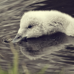 causing ripples (Black Cat Photos) Tags: uk england baby lake black reflection cute bird nature water swim canon blackcat river photography photo spring swan europe martin wildlife cygnet reserve m mere wwt necked martinmere blacknecked blackneckedswan blackcatphotos
