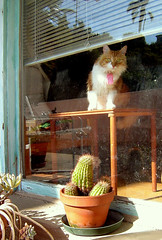 Watching the neighbours (maralina!) Tags: california cactus orange window look cat ginger losangeles kitten chat guard palm welcome bienvenue fentre roux palmier matou hollywoodhills tomcat regard chaton pomelo sentry comeonin