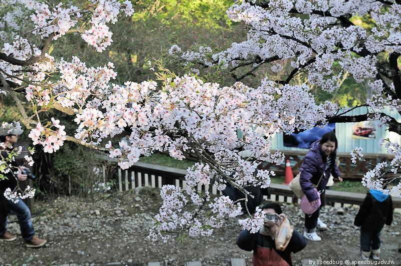 阿里山櫻花季31