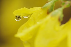 (Lee Saborío) Tags: county flowers milan macro nature yellow outside outdoors droplets spring bush backyard pentax michigan gimp drop refraction forsythia bloom droplet blooms ricoh f28 2012 kx 105mm washtenaw