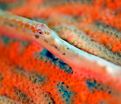 goby8978 (gerb) Tags: orange fish macro eye topv111 coral 510fav topv333 underwater dof scuba gorgonian tvp polyps goby similanislands aquatica 105mmf28micro d7000