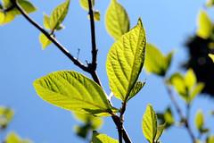20120404-_4041566 (Kama@jg6jav) Tags: leaf leav feuillage feulles