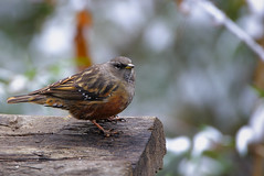 Alpine Accentor with snow in the background (Rajiv Lather) Tags: camera india mountains nature birds fauna canon bhutan image wildlife indian birding royal aves photograph trongsa dzong birdwatching himalayas birder avifauna passeriformes birdphotography alpineaccentor prunellacollaris passeridae hillbird hillykingdom