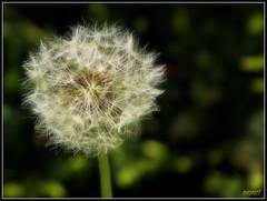 Still just Dandy.. (Steve.T.) Tags: plant flower nature weed fuji dandelion hs10