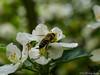 Erste Bienen 30.04.2012