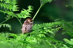 Bonasa bonasia (Gamtosfoto - Andrius Čeponis) Tags: bird nature hazelgrouse bonasabonasia