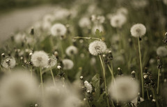 (D_habits) Tags: flower photoshop canon 50mm spring soft dof bokeh grain smooth dreamy grainy f18 hazy 18 cremin filmstyle bokehlicious