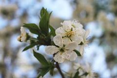 (macaroononastick) Tags: cherry spring blossom cherryblossom sakura wiosna winia kwiatwini