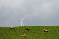Sheep (blachswan) Tags: sheep greengrass windtower waubra waubrawindfarm