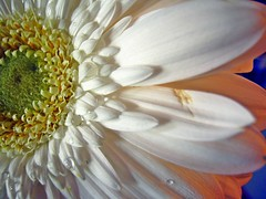 Gerbera ( the-best-is-yet-to-come ) Tags: coth5 ringexcellence blinkagain dblringexcellence tplringexcellence