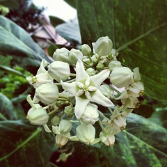 ดอกรัก  Crown flower