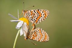 Melitaea in Love (Simone Chierici_Boyetto) Tags: macro love closeup canon butterfly simone sigma 150 farfalla aporia crataegi cerambice melitea chierici boyetto aporiafarfallapoti meliteaea